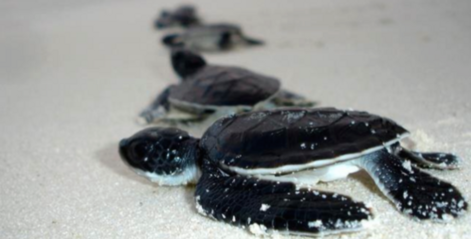 Sea Turtle Hatchlings during your Anna Maria Island vacation